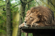 Portrait Of Lion Lying At The Zoo
