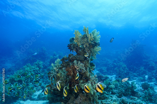 La pose en embrasure Recifs coralliens Coral Reef at the Red Sea Egypt