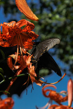 Black Swallowtail On The Lilies
