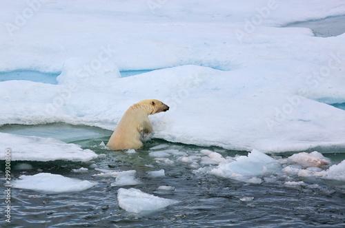 Fototapeta Polar bear in natural environment