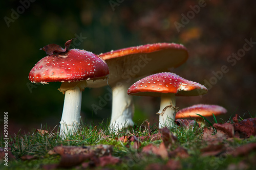 Photo colorful close up of fly agaric mushroom group sitting in the grass