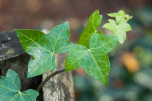 Closeup Of Ivy Branch On Woode...