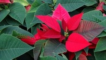 Blooming Poinsettia In The Far...