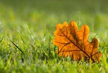 Yellow Oak Leaf On Morning Dew Wet Green Grass In The Sunlight,  Autumn Scene Background