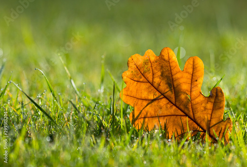 Yellow oak leaf on morning dew wet green grass in the sunlight, Autumn scene background