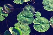Close Up On Green Lilly Pads With Drops Of Water On Top