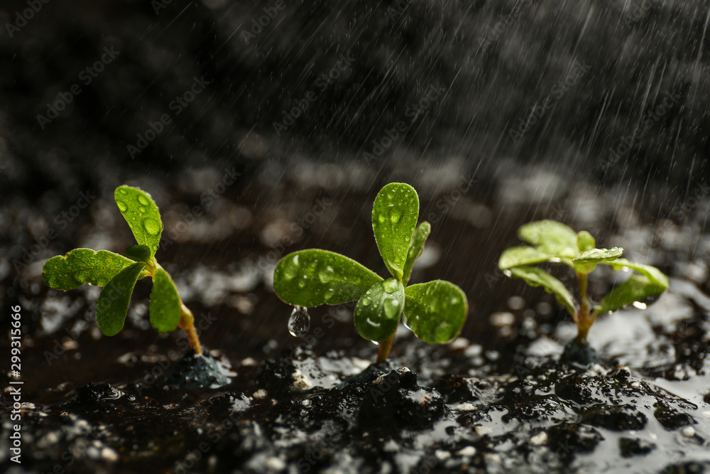 Fototapety, obrazy: Fresh seedlings in fertile soil under rain, space for text