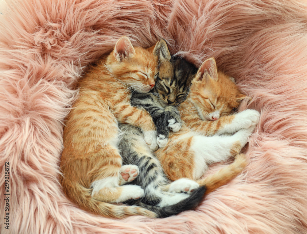 Fototapety, obrazy: Cute little kittens sleeping on pink furry blanket, top view