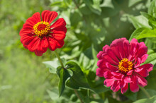 Red Zinnia Elegans Flowers Portraits, Selective Focus..July, Russia.