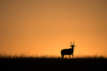 Blesbok Sunrise