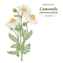 Pharmaceutical Camomile Plant ...