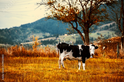 Spotted cow grazes in the meadow. Carpathians. Ukraine. Fotobehang