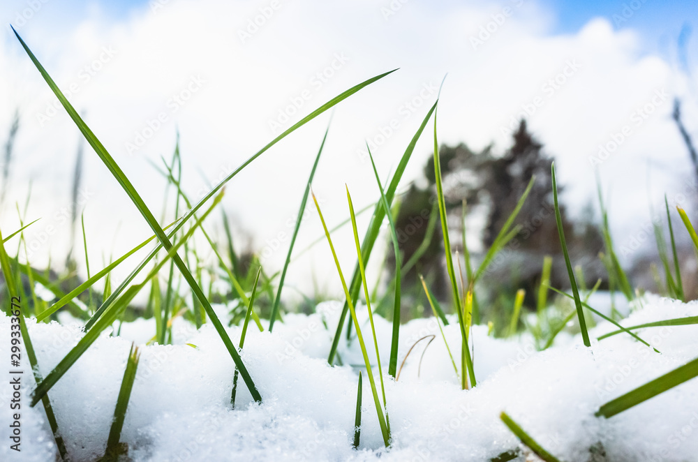 Fototapety, obrazy: Early frost, green grass and snow