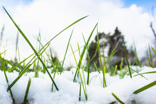 Early Frost, Green Grass And Snow