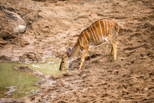 A Nyala Female Drinking From A Sandy Water Hole In The Wilderness.
