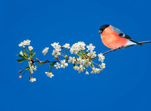 Beautiful Red Male Bullfinch Bird Sits On A Cherry Branch With White Flowers In May Spring Sunny Garden
