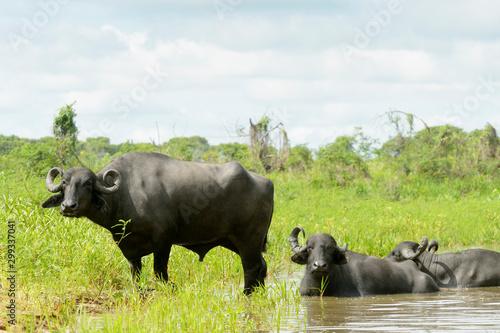Fotografija  Water buffalo or Domestic Asian water buffalo (Bubalus bubalis) lying down and s