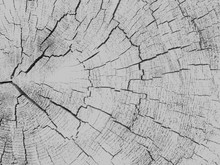 White Background Large Circular Piece Of Wood Cross Section With Tree Ring Texture Pattern And Cracks. Backdrop Detailed Organic Nature Surface