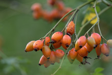 Rose Hips On A Branch