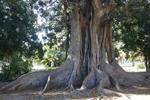 Ficus Mucronatum Jardines De Picasso Malaga