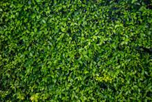 Green Leaf Wall Texture Backgr...