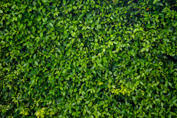 FototapetaGreen leaf wall texture background. Nature view of green plants. Environmental freshness wallpaper concept.