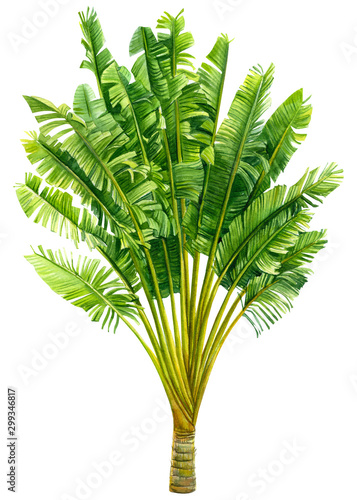 ungle botanical watercolor illustrations, tropical palm leaves, banana palm on an isolated white background, hand drawing Wall mural