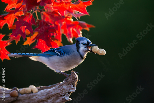 Blue jay in autumn Wallpaper Mural