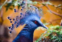 Image Of A Blue Victoria Crowned Pigeon