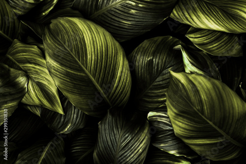 Photo Spathiphyllum cannifolium leaf concept, dark green abstract texture, natural bac