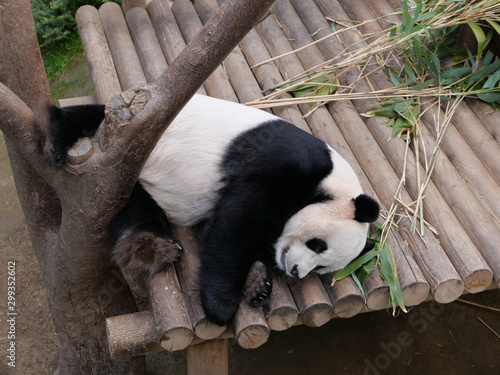 Giant Panda under tree. Wildlife animal Slika na platnu