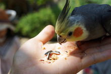 Parrot Eating Feeds. Parrot Is Eating Sunflower Seeds On People Hand