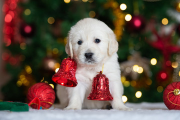 adorable puppy with Christmas bells posing indoors