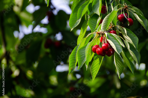 Foto Cherry tree in the sunshine - sick cherry tree - moldy fruits on the tree