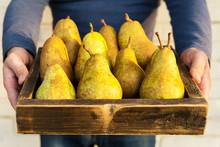Fresh Pears In Male Hands. Jui...