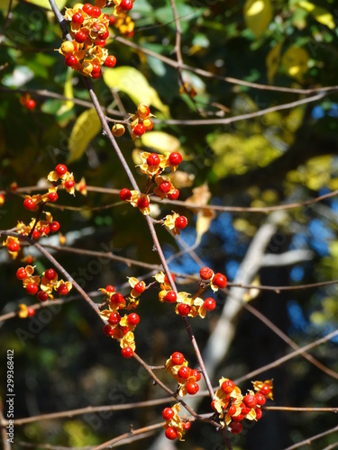 Closeup of red and yellow berries on tree branch in fall #1