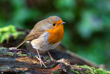 Robin Redbreast ( Erithacus Rubecula) Bird A British Garden Songbird With A Red Or Orange Breast Often Found On Christmas Cards