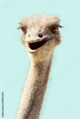 Tuinposter Struisvogel Close-up ostrich's head smiling funny kind on a white
