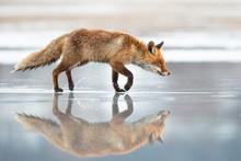 The Red Fox (Vulpes Vulpes) Is...