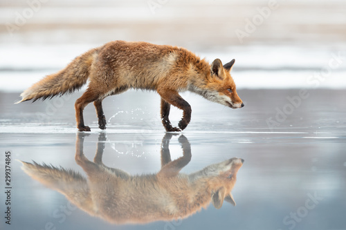 Fotomural The red fox (Vulpes vulpes) is the largest of the true foxes and one of the most