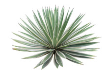 Agave Plant Isolated On White Background. Clipping Path. Agave Plant Tropical Drought Tolerance Has Sharp Thorns.