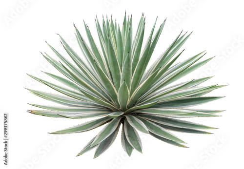 Agave plant isolated on white background Canvas Print