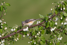 Tufted Titmouse In White Bloss...