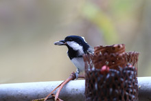 Coal Tit, With A Seed In The B...