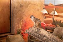 Meerkat Sits On A Log. Meerkat...