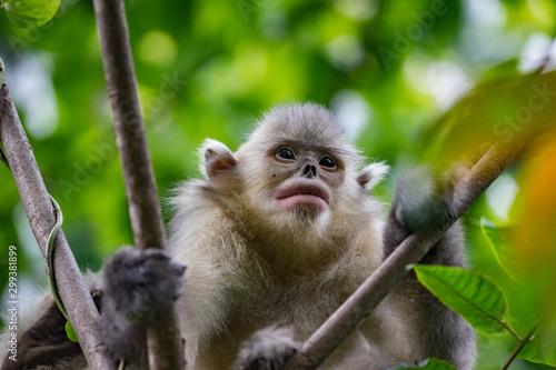 black-and-white snub-nosed monkey, rhinopithecus bieti, Stupsnasenaffe Tapéta, Fotótapéta