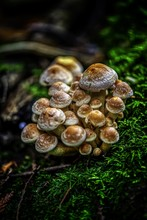 Closeup Shot Of Agaric Mushrooms Grown In A Moss