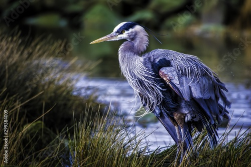 Fototapeta Beautiful shot of a great blue heron with colorful feathers near the lake