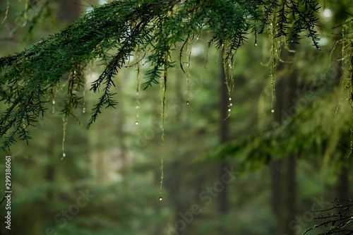 CLOSE UP: Scenic shot of wet moss covered branches in dense temperate rainforest