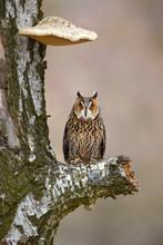 Long-eared Owl (Asio Otus), Al...